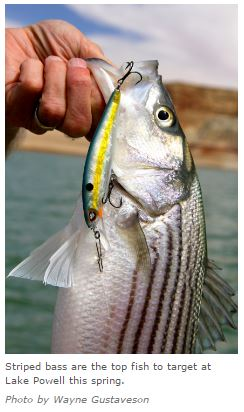 striped bass wayne